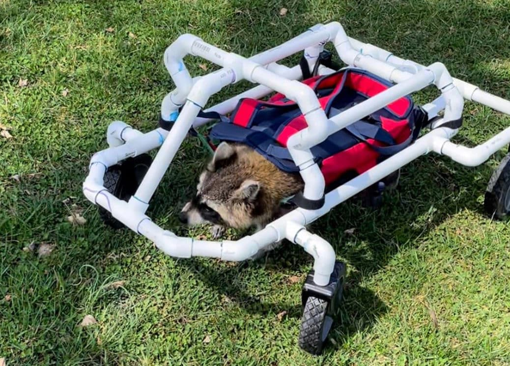 raccoon crawling on all fours using a custom made wheelchair